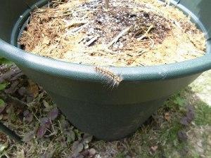 ミニミニ家庭菜園&ミニガーデニング 芙蓉の植木鉢の縁の虫/どこまでもアマチュア