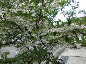 ミニミニ家庭菜園&ミニガーデニング 満開のエゴノキの花/どこまでもアマチュア