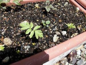 ミニミニ家庭菜園&ミニガーデニング フウセンカズラの芽/どこまでもアマチュア