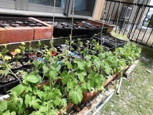 ミニミニ家庭菜園&ミニガーデニング つるを伸ばし始めたアサガオ/どこまでもアマチュア