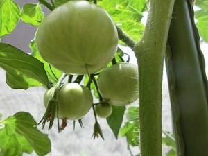ミニミニ家庭菜園&ミニガーデニング トマト/どこまでもアマチュア