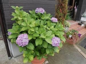 ミニミニ家庭菜園&ミニガーデニング アジサイの花/どこまでもアマチュア