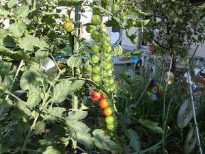 ミニミニ家庭菜園&ミニガーデニング ミニトマトの実/どこまでもアマチュア