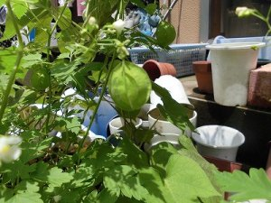 ミニミニ家庭菜園&ミニガーデニング フウセンカズラの風船/どこまでもアマチュア
