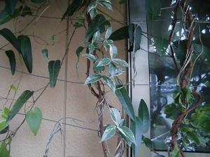 ミニミニ家庭菜園&ミニガーデニング テイカカズラ/どこまでもアマチュア