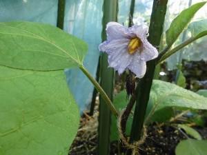 ミニミニ家庭菜園&ミニガーデニング なすの花/どこまでもアマチュア