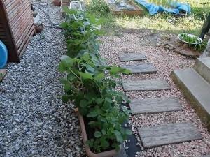 ミニミニ家庭菜園&ミニガーデニング 大きくなった枝豆/どこまでもアマチュア