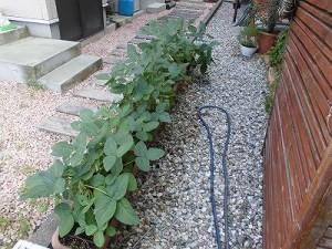 ミニミニ家庭菜園&ミニガーデニング 枝豆/どこまでもアマチュア