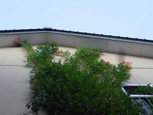 ミニミニ家庭菜園&ミニガーデニング Lesson8_2015 ノウゼンカズラ/どこまでもアマチュア