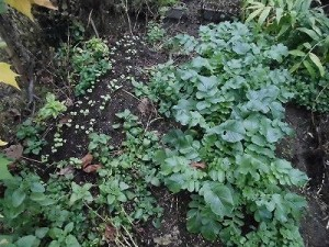 ミニミニ家庭菜園&ミニガーデニング 大根の苗と横の畝/どこまでもアマチュア