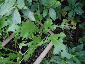 ミニミニ家庭菜園&ミニガーデニング 虫に食われたカブの葉/どこまでもアマチュア