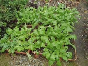 ミニミニ家庭菜園&ミニガーデニング 成長してきたカブ/どこまでもアマチュア