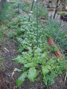 ミニミニ家庭菜園&ミニガーデニング 畝の大根とカブ/どこまでもアマチュア