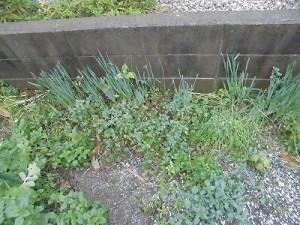 ミニミニ家庭菜園&ミニガーデニング 庭に生えてきた水仙/どこまでもアマチュア