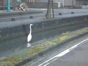 越前東郷駅を見てきました。 川にたたずむサギ/どこまでもアマチュア