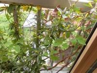 家庭菜園のつもりで庭いじり2016 ジャスミンのつぼみ/どこまでもアマチュア