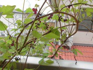 家庭菜園のつもりで庭いじり2016 あけびの花/どこまでもアマチュア