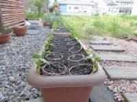 家庭菜園のつもりで庭いじり2016 つるなしいんげんの芽/どこまでもアマチュア