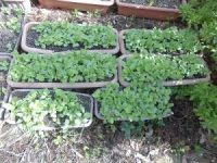 家庭菜園のつもりで庭いじり2016 混み合うラディッシュの双葉/どこまでもアマチュア