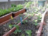 家庭菜園のつもりで庭いじり2016 つるなしエンドウの芽/どこまでもアマチュア