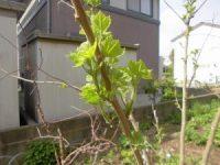 家庭菜園のつもりで庭いじり2016 芙蓉の若芽/どこまでもアマチュア