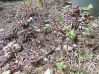 家庭菜園のつもりで庭いじり2016 シソの芽/どこまでもアマチュア