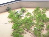 家庭菜園のつもりで庭いじり2016 屋根に到達するノウゼンカズラ/どこまでもアマチュア