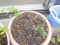 家庭菜園のつもりで庭いじり2016 マリーゴールドの苗/どこまでもアマチュア