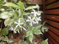 家庭菜園のつもりで庭いじり2016 テイカカズラの花/どこまでもアマチュア