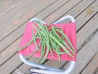 家庭菜園のつもりで庭いじり2016 つるなしいんげんの実/どこまでもアマチュア