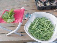 家庭菜園のつもりで庭いじり2016 本日の大葉とつるなしいんげんの収穫/どこまでもアマチュア