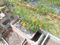 家庭菜園のつもりで庭いじり2016 プランターで成長したマリーゴールド/どこまでもアマチュア