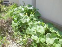家庭菜園のつもりで庭いじり2016 かぼちゃの葉/どこまでもアマチュア