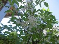 家庭菜園のつもりで庭いじり2016 エゴノキの花/どこまでもアマチュア