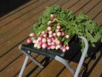家庭菜園のつもりで庭いじり2016 間引きしたラディッシュ/どこまでもアマチュア