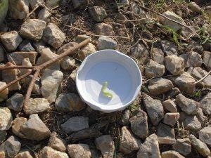 家庭菜園のつもりで庭いじり2016 今年もやってきた芙蓉の葉に付く害虫/どこまでもアマチュア