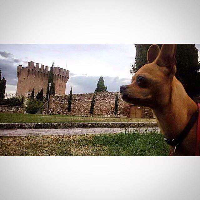 chihuahua vs italy, etruscan tower, tursenia, #italy #chihuahua, #pet