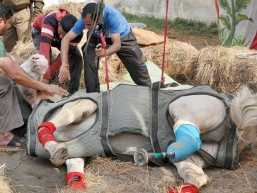 police-horse-shaktiman-was-given-a-prosthetic-leg-after-his-leg-was-badly-broken-14612224267383