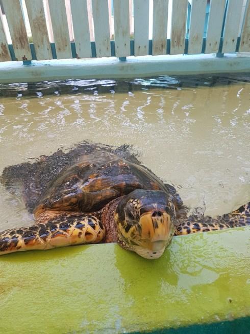 Sea Turtle, Bequia