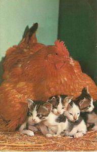 https://www.etsy.com/listing/184901629/mother-hen-adopts-kittens-lovely-vintage?utm_source=Pinterest&utm_medium=PageTools&utm_campaign=Share