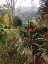 Salento Coffee Plants