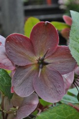 Coppery pink helleborus head