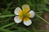 Buttercup with white and yellow colours