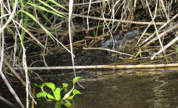 aligator 2