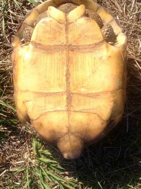 turtle underside