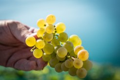 ChasselasGrapes