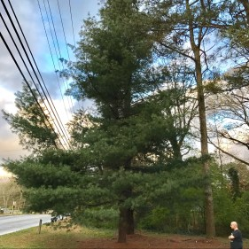 the eastern white pine is the state tree of maine and missouri and
