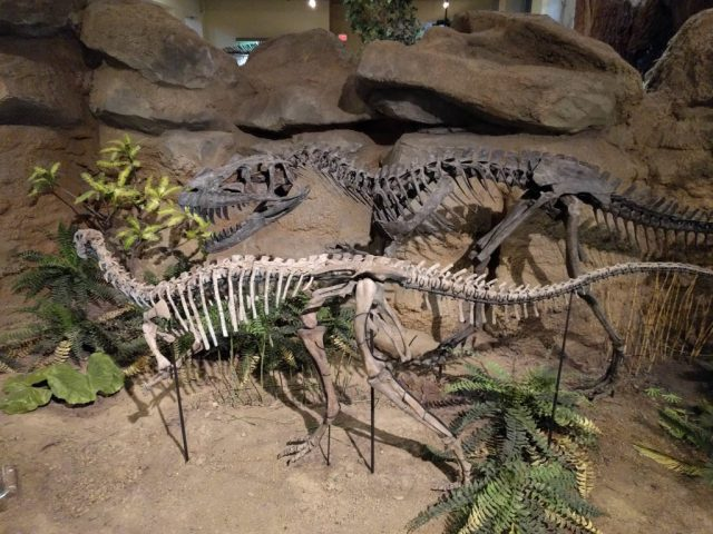 Dryosaurus and Ceratosaurus on display at the Carnegie Museum of Natural History