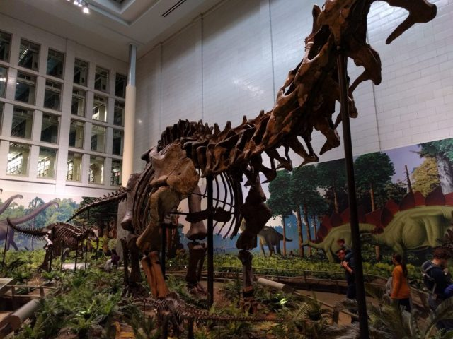 A juvenile Apatosaurus hides beneath an adult as a hungry Allosaurus approaches. Fossil mounts at the Carnegie Museum of Natural History.