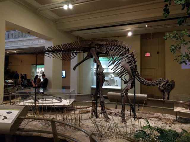 Corythosaurus mount at the Carnegie Museum of Natural History.